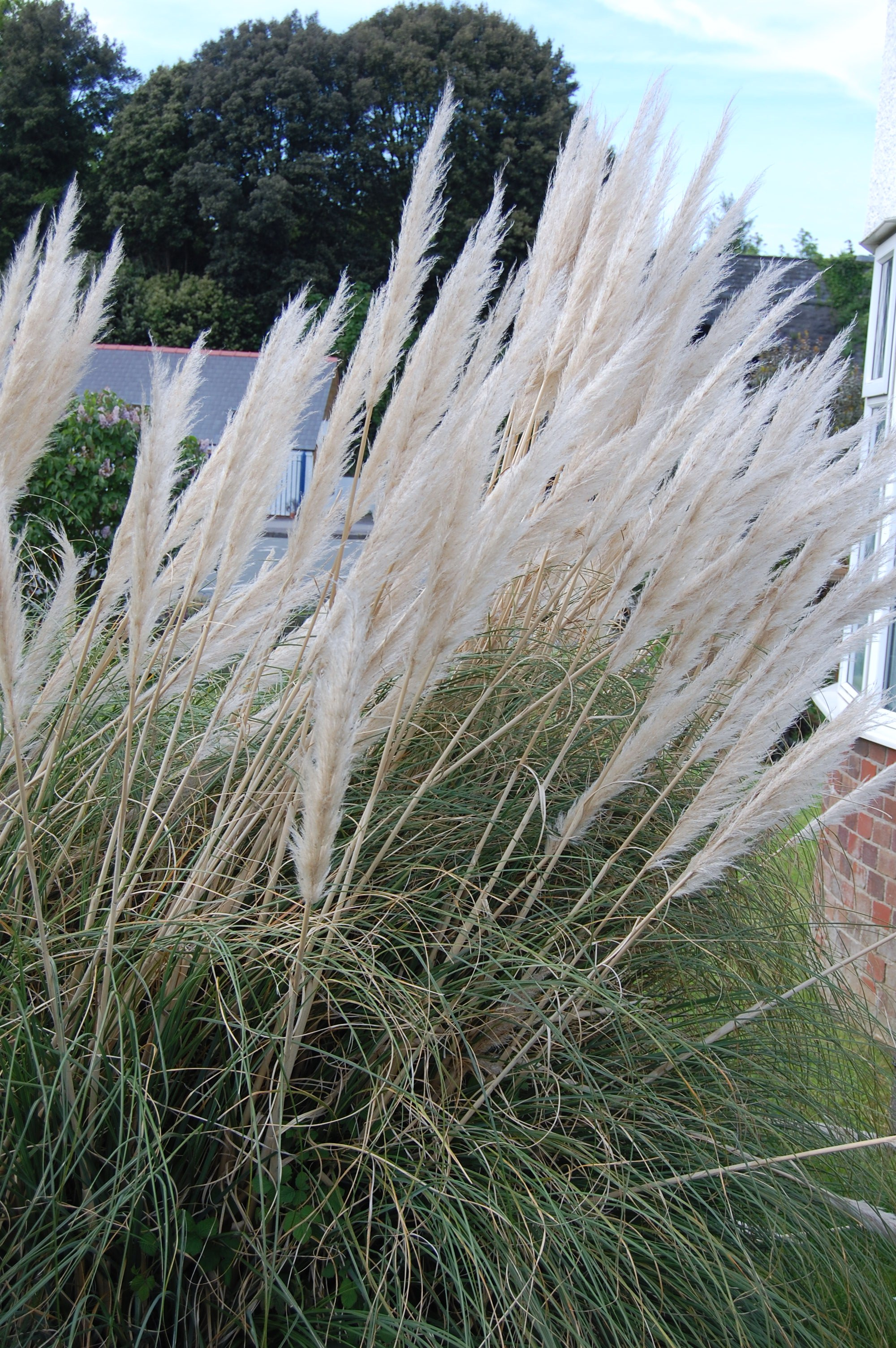 Pampas grass in south wales shortfinals 39 s blog for Tall grass with plumes