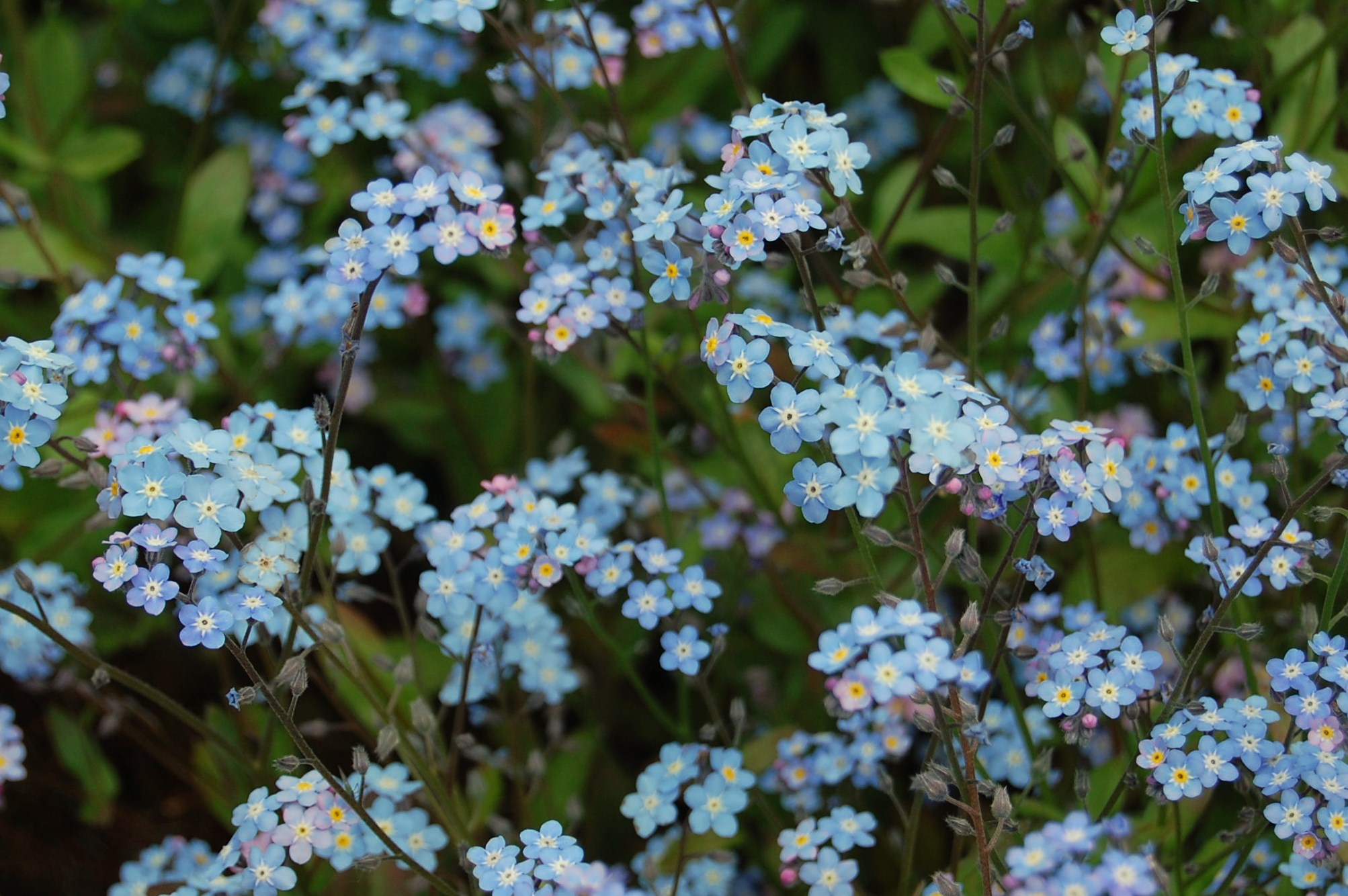 The forget me not a tiny gem of a flower shortfinalss blog the forget me not myosotis is a tiny gem of a flower or flowers would be a better term as there are over 50 species scattered across the globe izmirmasajfo