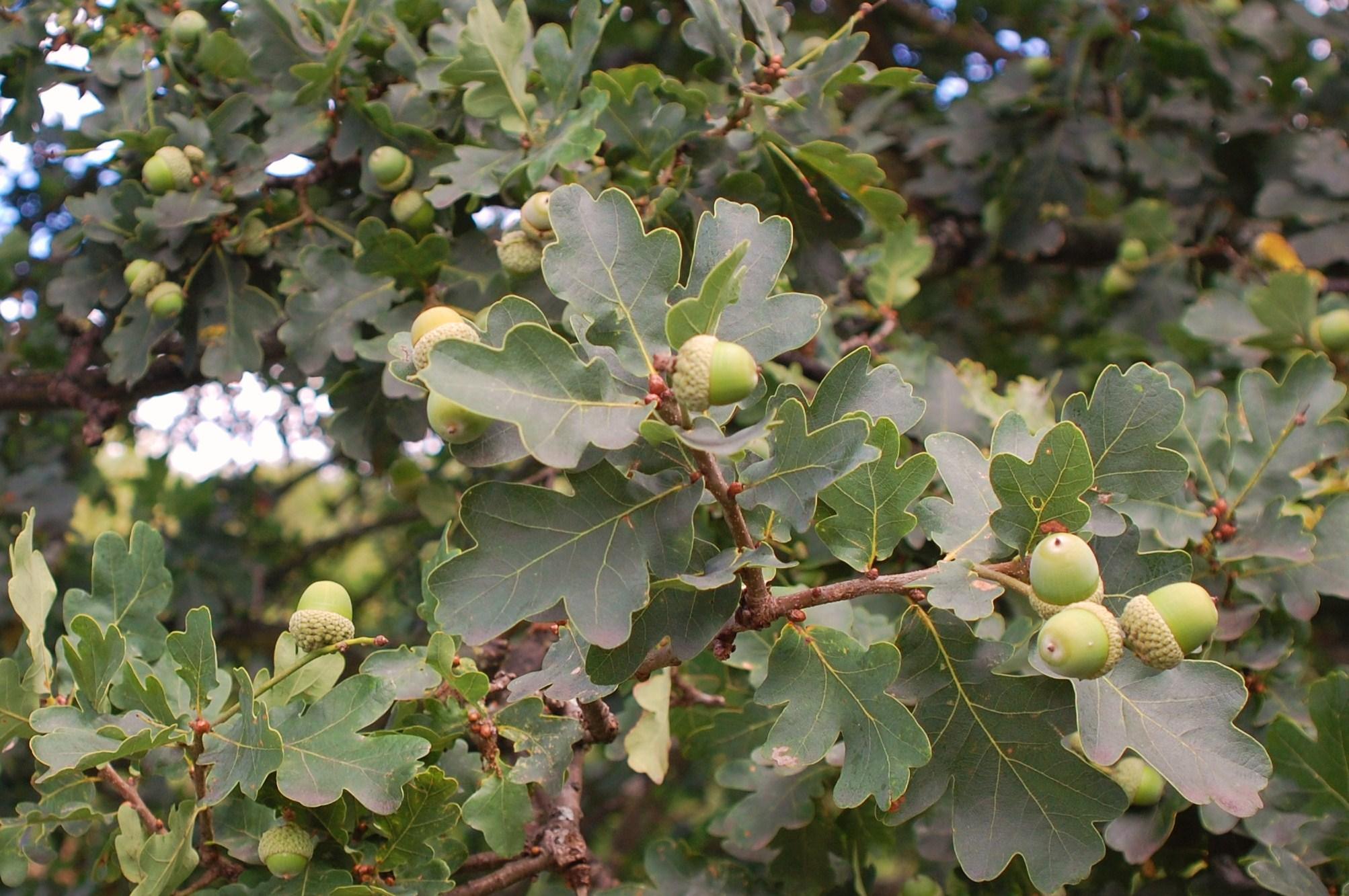 The oak u2013 a royal tree and a national symbol shortfinalss blog